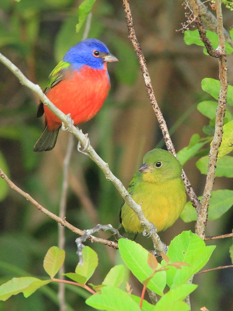 Painted Bunting pair 1-20151102