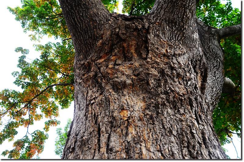 糖楓的樹幹 2