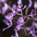Stenoglottis longifolia by JardinBotanique_Nancy