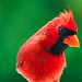 Northern Cardinal. by Mary Vasquez Photography