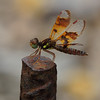 Female Eastern Amberwing by all one thing (not quite catching up...)