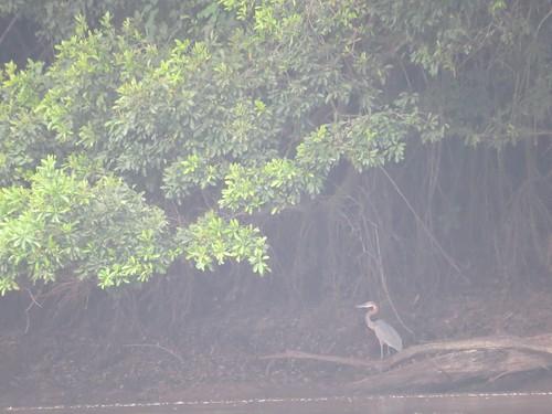 Goliath heron along the Lomami
