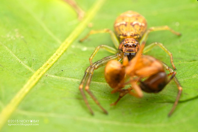 Crab spider (Thomisidae) - DSC_4563