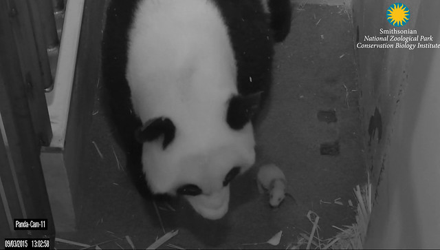 Mei Xiang and her cub Sept. 3