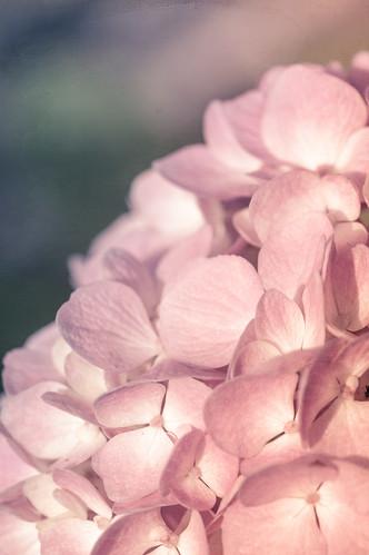 Hydrangea // 05 09 15
