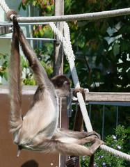 gibbon(0.0), animal(1.0), branch(1.0), monkey(1.0), zoo(1.0), mammal(1.0), fauna(1.0), spider monkey(1.0), new world monkey(1.0), wildlife(1.0),