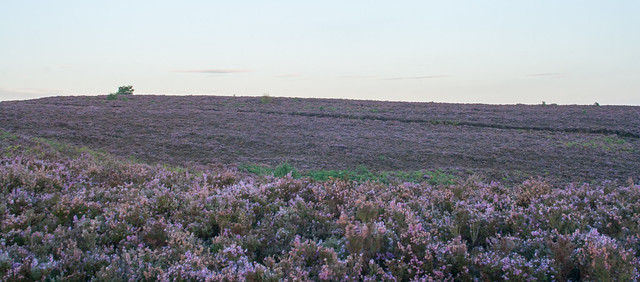 Heather over Cannock Chase