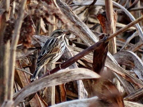 bird fall virginia sparrow