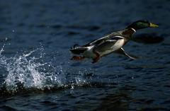 animal, water bird, duck, water, fauna, wave, mallard, beak, bird, wildlife,