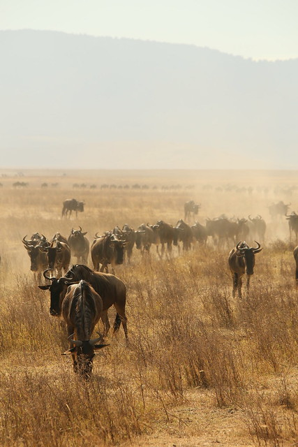 A migration of Wildebeest.
