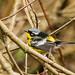 IMG_7489  Magnolia Warbler