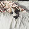 Sleeping beauty #muttsofinstagram #dogsofinstagram #hound #mutt #family #fannypup
