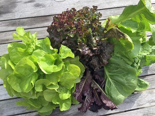 lettuce harvest IMG_3927