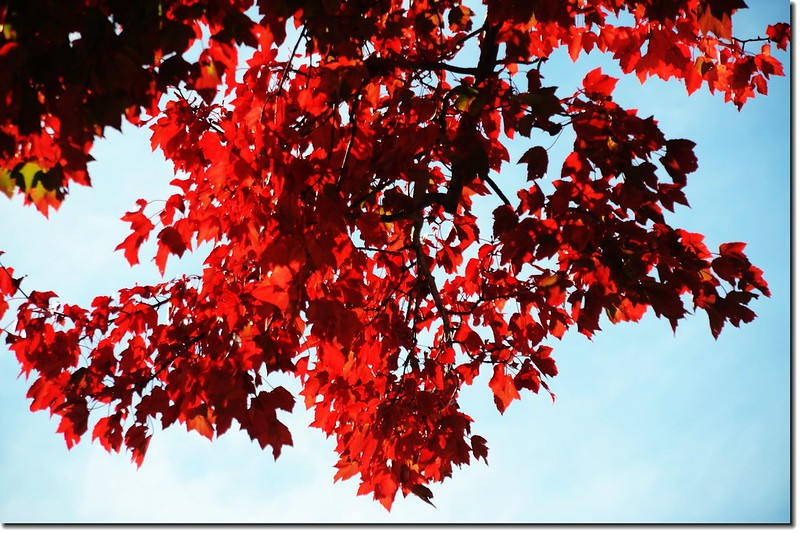 Red maple leaves 13