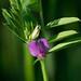 Small photo of American Vetch (Vicia americana)