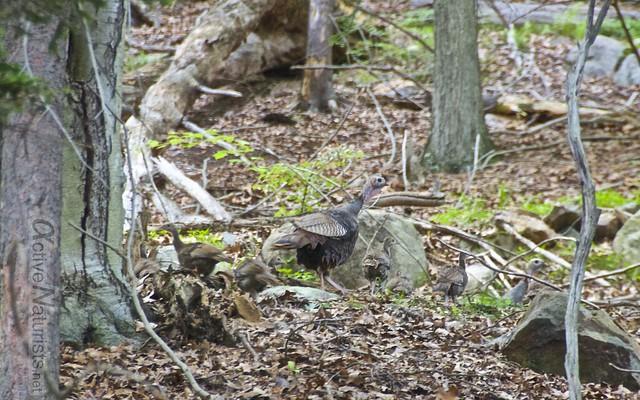 wild turkey 0000 Harriman State Park, NY, USA