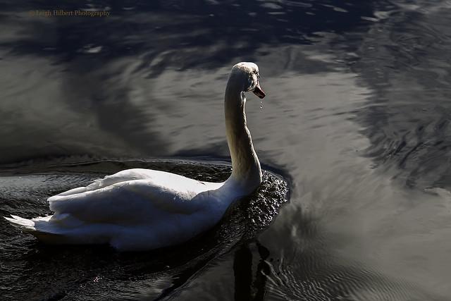 December Swan