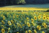 Fausett Farms Sunflowers