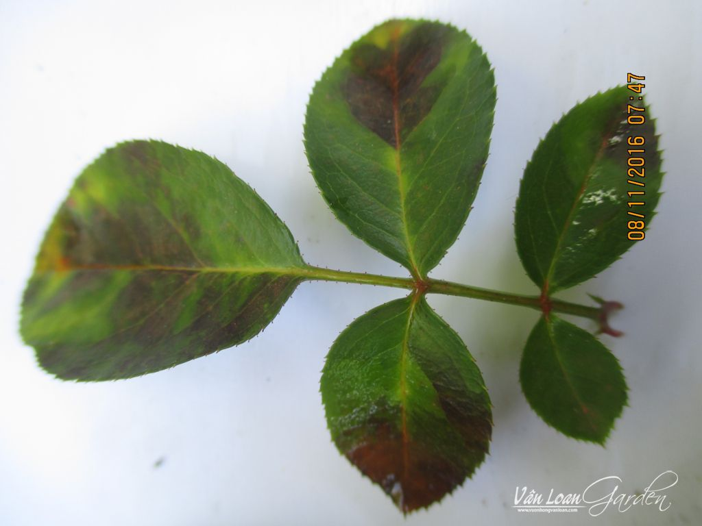 benh vang la benh suong mai tren cay hoa hong Downy Mildew rose (8)-vuonhongvanloan.com