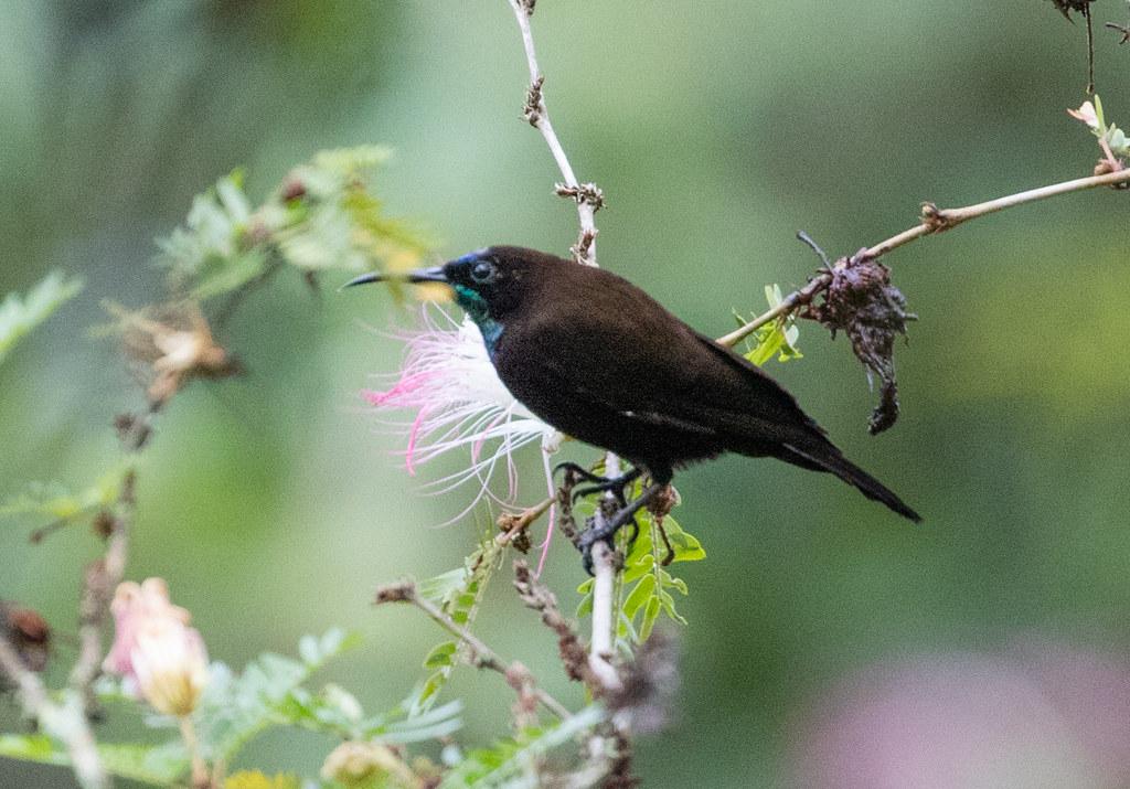 Blue-throated Brown Sunbird