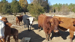 -Cows_