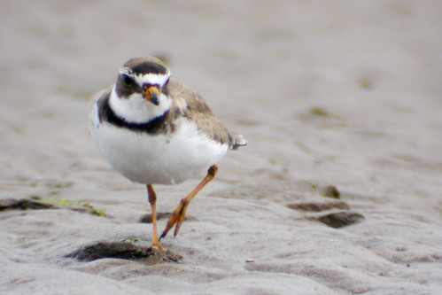 bird wildlife birding ornithology birdwatching oiseau faune semipalmatedplover ornithologie pluviersemipalmé