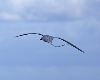 Red-billed Tropicbird (Phaethon aethereus mesonauta)