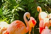 Flamingo, Flamant rose, Los Angeles Zoo, CA, USA. by SETIANI LEON