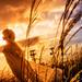 Gold grass by AZURE_TB