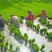 Rice-planting season in Gourdoho, India