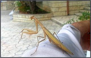 Giant Mantis
