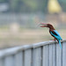 white-throated kingfisher by khcheungkinhung