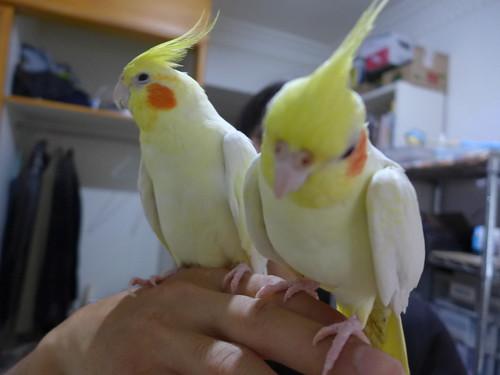 玄鳳粉圓與Yui