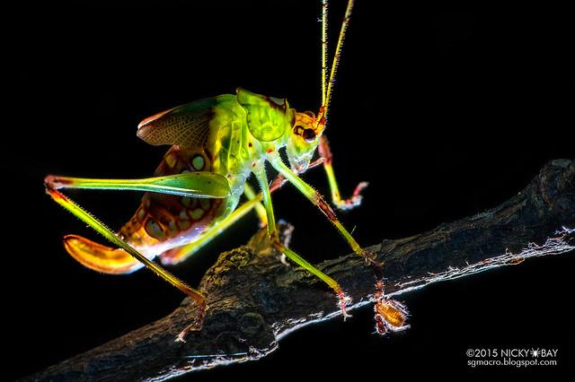 Katydid (Tettigoniidae) with Pseudoscorpion - DSC_5153