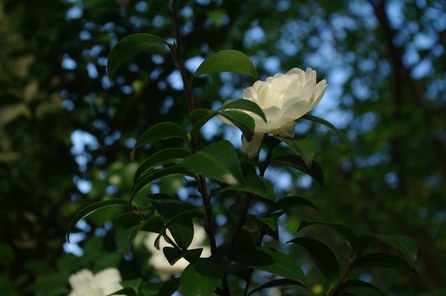 420 - wisteria2-kozo