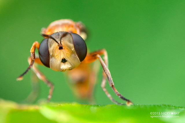 Thick-headed fly (Conopidae) - DSC_8799
