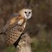 Barn owl by Phiddy1