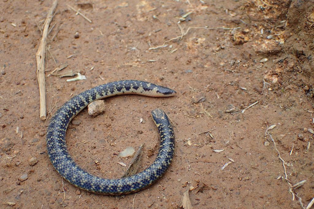 Blind Snake  Sri Lanka