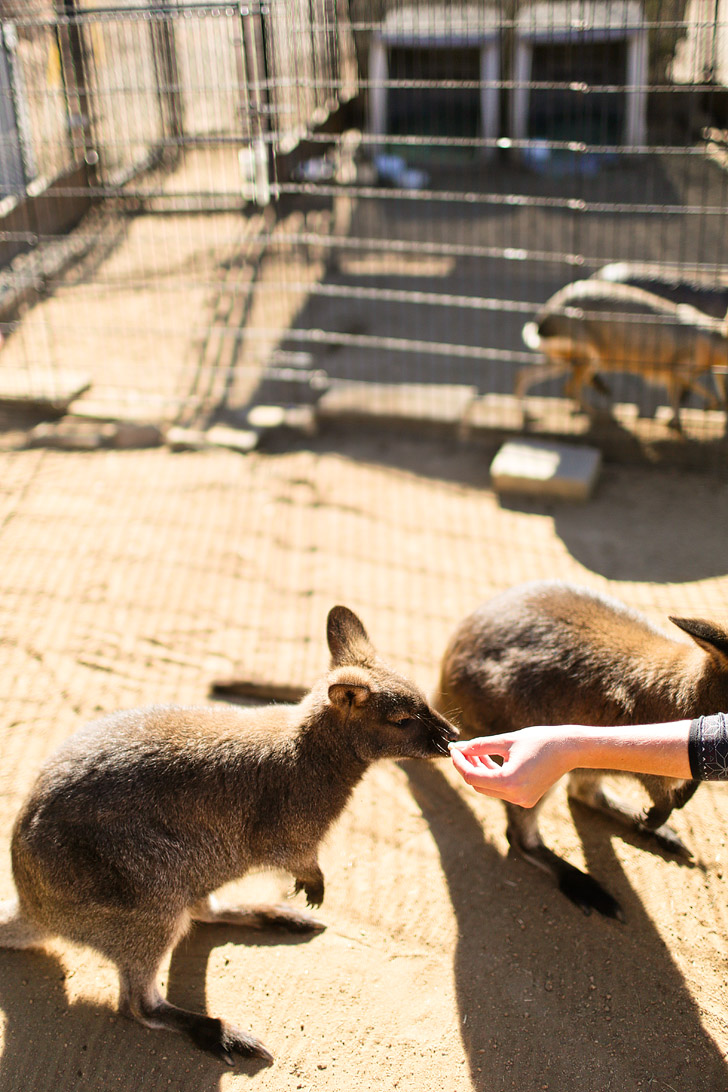 Meet and interact with the Bennetts Wallaby at Wild Wonders Bonsall CA.