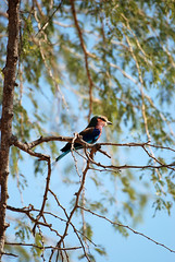 Lilac-Breasted Roller (Coracias caudatus), South Luangwa NP, Zambia