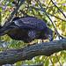 Juvenile Bald Eagle Eating Catfish by Brian E Kushner