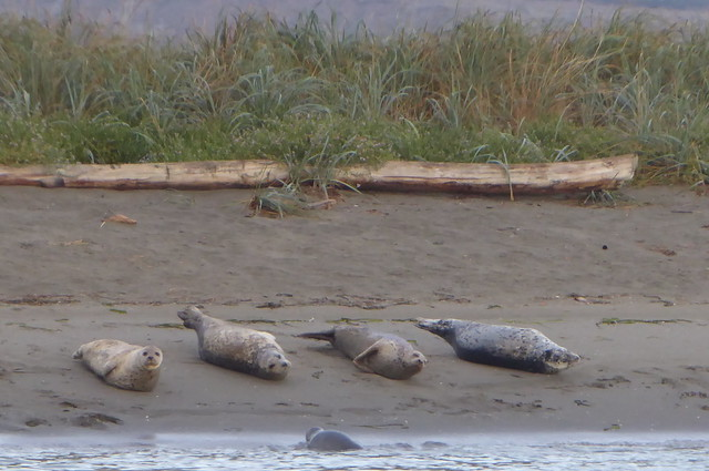 Rat Island Seals Ft Flagler