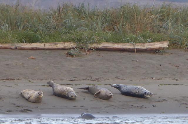 Rat Island Seals Ft Flagler