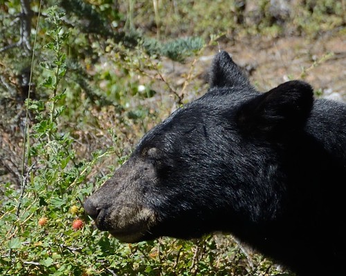 Black Bear Eating Gooseberry