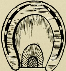 """Image from page 154 of """"Diseases of the horse's foot"""" (1918)"""