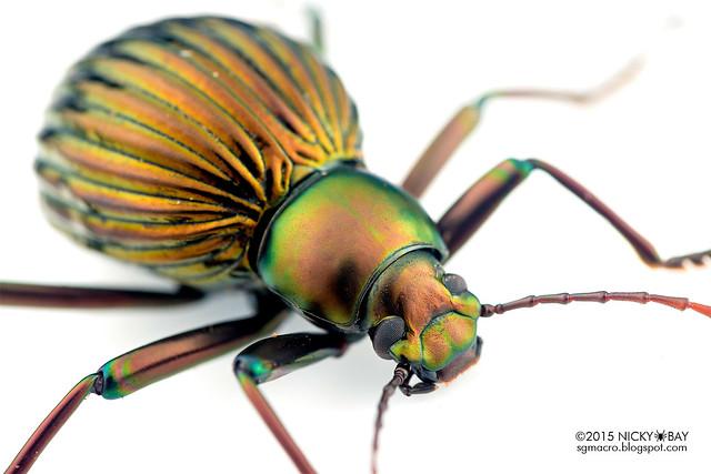 Darkling beetle (Tenebrionidae) - DSC_7594