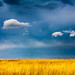 A Sea of Yellow, a Sky of Blue by TDR Photographic