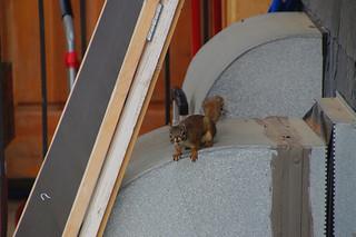 165 Amerikaanse rode eekhoorn