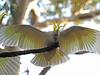 Sulphur-crested Cockatoo by papuckoskav
