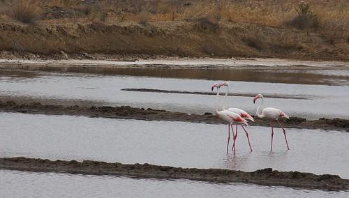 Flamingos de Tavira